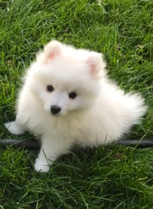 Toy American Eskimos Breed Photo